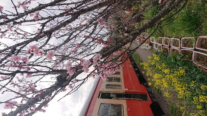 写真の花は桜の一種だと思いますが、お花カメラだと、桃とか桜とか曖昧でした(汗) 豆桜かもしれませんけど、わかる方教えてください。