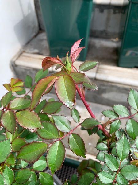 2月に届いた 『ローズうらら 』の大苗です。 もう 蕾が出てるのですが、そのまま咲かせて大丈夫でしょうか? カットする場合はどこら辺を切ればいいか教えてください。よろしくお願いします。