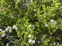 庭木を植えたいのですが、この木は何という木でしょうか?白い小さな花がたくさん咲いてました。マンションの周りにありました。