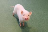 可愛い豚さんを殺すなヴィーガンになれと言ったらルッキズムと言われましたが、ルッキズムだったら何が悪いのでしょうか? 人間社会でもルッキズムが蔓延ってるわけでモデルはルッキズムを武器にしています