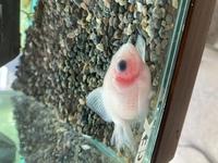 金魚のピンポンパールが2ヶ月以上ずっと沈む転覆病になっており、水温を28℃にし絶食やクロレラを試していましたが、 一か月程まえから鱗が逆立ち間から赤斑がポツポツできていました。 塩浴や薬浴をして今まですぐに☆にしてしまった経験があるため水換えの頻度を上げ、絶食を1週間弱行っていましたが、今朝顔にまで充血が広がっていました。 やはり薬浴を行った方がよいのでしょか。 どなたかいい方法があれ...