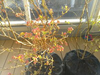 このブルーベリーは花芽が付きすぎですか? その場合は今からでもカットした方がいいですか? 3年生の苗を去年11月に植えました。 よろしくお願いいたしますm(__)m