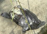 亀の種類について質問させていただきます。 ミシシッピアカミミガメだらけの池で写真のような亀を撮影しました。 この亀の種類はわかりますでしょうか? 黒いだけでミシシッピアカミミガメなのか? または違う種類になるのでしょうか?  よろしくお願いいたします。