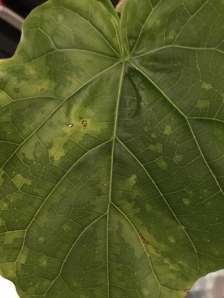 最近フィカス・ウンベラータを育て始めたのですが、 どの葉にも小さな穴や茶色く変色した傷のようなものがあります。 参考までに葉の一部を写真で添付しました。 これは病気でしょうか。 対策を教えて下さい。