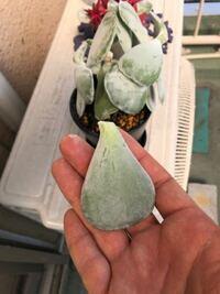 多肉植物について質問です。 この写真のちぎれた葉の部分は、また根っこが出て成長するのでしょうか?  もしそうならどうすれば良いのでしょうか?