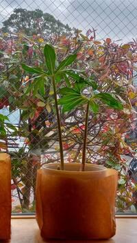 山野草らしいのですが何という植物でしょうか。