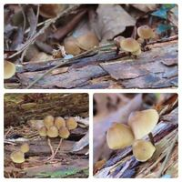 キノコの種類 写真のキノコについて 種類が分かる方、ご教示ください。  本日佐賀県の山で撮影したものです。 食用にするつもりはありません。
