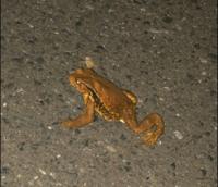 このカエルは何ガエルか分かりますか? 都内なんですけど、最近カエルの鳴き声がするなと思っていたら、夜偶然道で出くわしました。  田んぼや川が近くにあるわけではないです。  ただ近くには大きな公園はあります。 オタマジャクシなどもこの辺では見かけません。不思議です  どんな場所に生息しているのでしょうか?