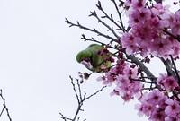 ピンクの花びらを落としまくる緑の鳥の名前と、何でこんなことをするのか教えてください。 花びらを食べるのでなく、密を吸うのでなく、単に花びらを落とすのに夢中になってました。すごい数の花びらが落ちているのでずっとやっていたと思います。体は緑で、鳩くらいの大きさです。ピンクのくちばしと目は黄色でしょうか。