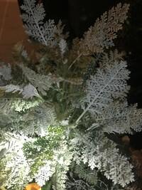 この植物はなんですか?園芸店で寄植えに購入しました。 折ると匂いがお線香臭いです。 毒がありますか?