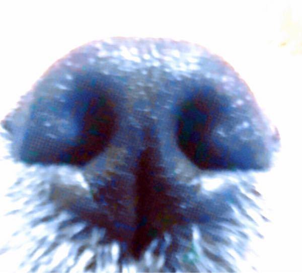 4月で1歳になる愛犬について質問です。 犬種はポメラニアンとペキニーズのハーフで体重は3.5キロ程です 本題に入るのですが、なんだか少し鼻の穴が狭いような気がして鼻腔狭窄なのかな…?と、 鼻ぺちゃの類ですがポメが入っているのでペキニーズやパグの様な鼻がのめり込む程短い訳ではなく横から見て約3cmちょっとあるのですがそれでも鼻腔狭窄になってしまうのでしょうか? 気にし過ぎかとも思ったんですけどやっぱり聞いてみようと思って質問させて頂きました! (画像は見やすいように少し明るさを変えてますがそれ以外は何も弄っていません)