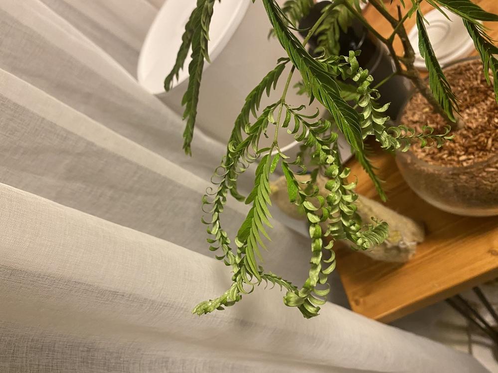 エバーフレッシュについて質問です。 写真のように葉がくるくると巻いたような状態になっていたり、夜に閉じない葉があります。 原因を教えていただけると嬉しいです。 置き場所は、日当たりの良い窓際...