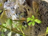 ヤマトヌマエビ又はミナミヌマエビは写真にある薄茶色?の苔を取り除いてくれるでしょうか?