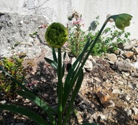 今荒れ地を耕しています。飛んできて根付いたのか、鳥が運んだのか分かりませんが、春になり立派な花が蕾をつけていました。 これは一体何という花でしょうか?