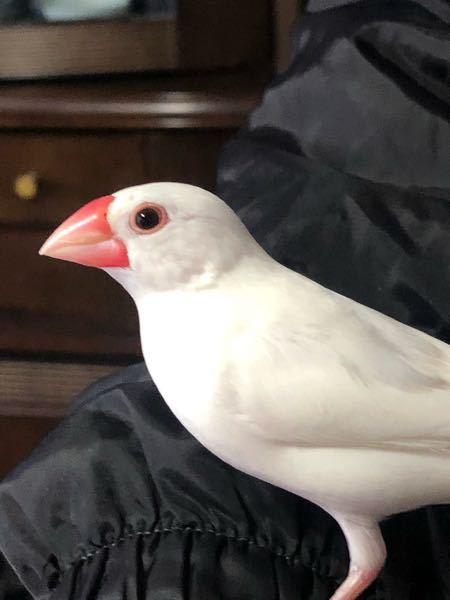 この白文鳥の性別、わかりますか? お願いします