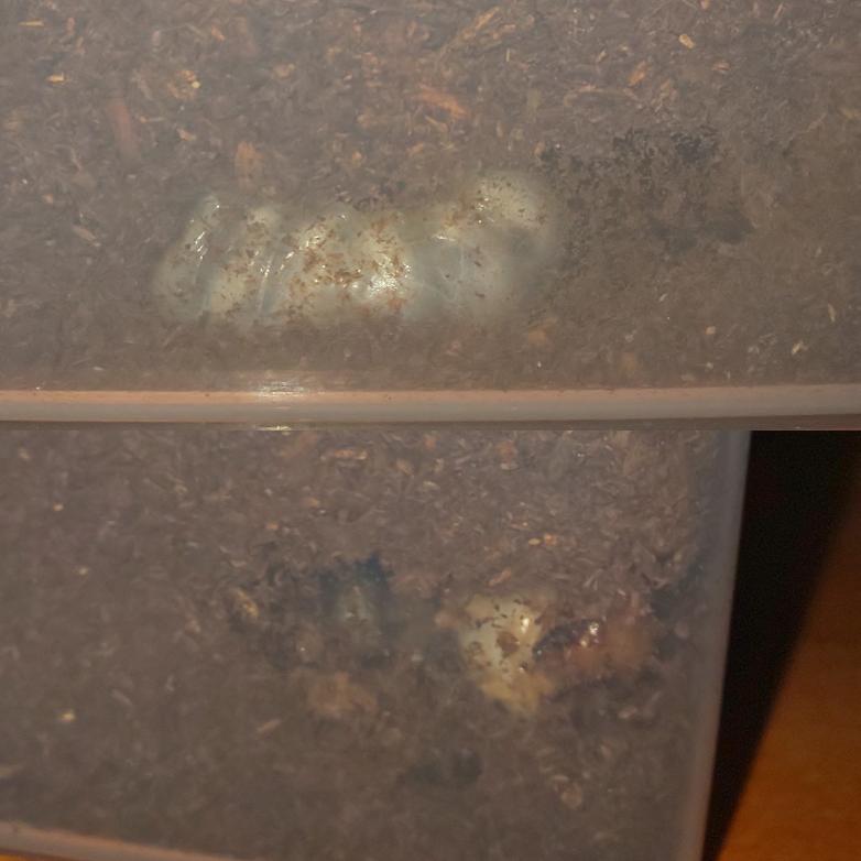 二匹共オオクワガタなのですが、上の幼虫は5日程同じ場所に居て、細長く中は綺麗なドーム状の空洞がずっとあります。 蛹室ですか? また、下の幼虫は3日前から写真の場所に居ます。 頭が見えてる状態ですが、からだの方は奥に蛹室を作っている可能性はありますか?