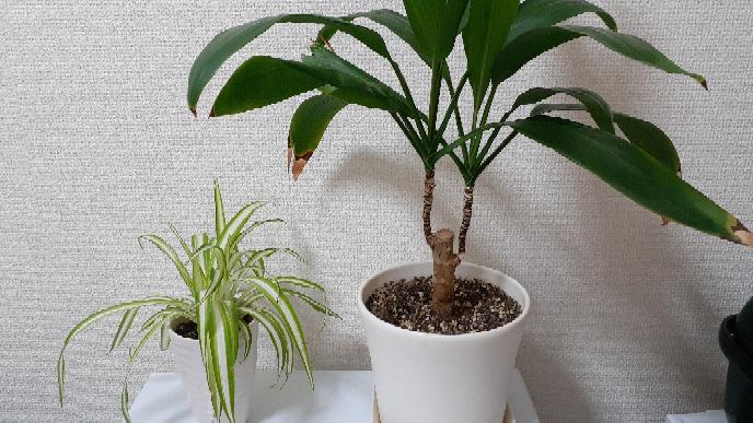 画像の2つの観葉植物の名前と育て方の注意点を教えて下さい。 どちらか片方でも教えて頂けるとありがたいです。