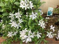 この草花の名前を教えてください。