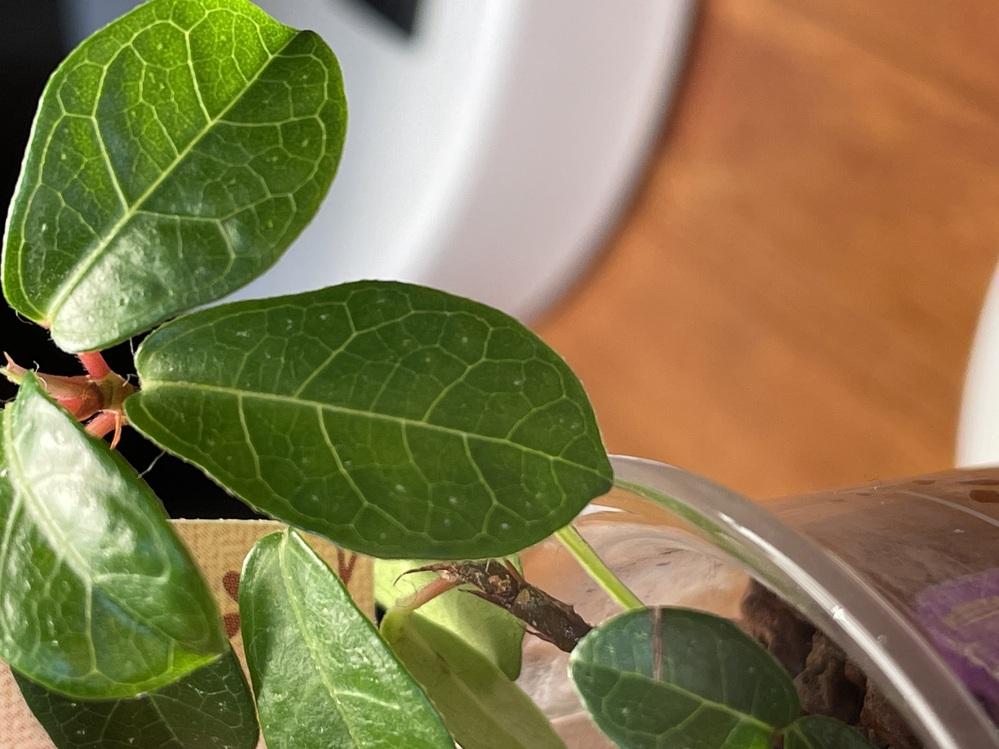 フィカスという観葉植物なんですが、最近葉っぱに、白い斑点ができていました。これは病気なのでしょうか?教えて欲しいです ♂️