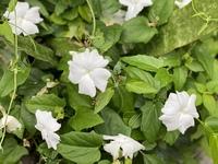 那覇市内の垣根で見た花です。なんていう名前の花でしょうか?