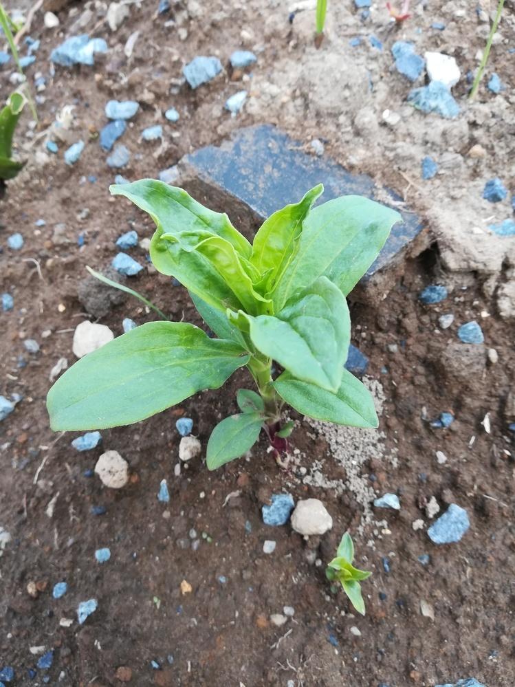 まだ葉っぱだけなので難しいかもしれませんが・・・ コレ何の植物か分かりますか? コイツからは雑草じゃないんだぞオーラが出ている気がするのです。