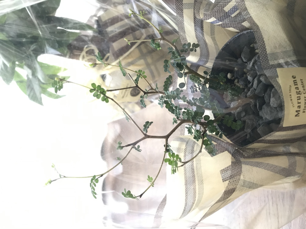この観葉植物、何か分かりますか? 教えてください。
