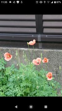 この花の名前は何ですか? 雑草生えているところに大量に咲きました。ご教授ください。 全部刈ってしまうつもりです。よろしくお願いいたします。