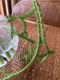 この葉は何ですか? 硬くてロープのように長いです
