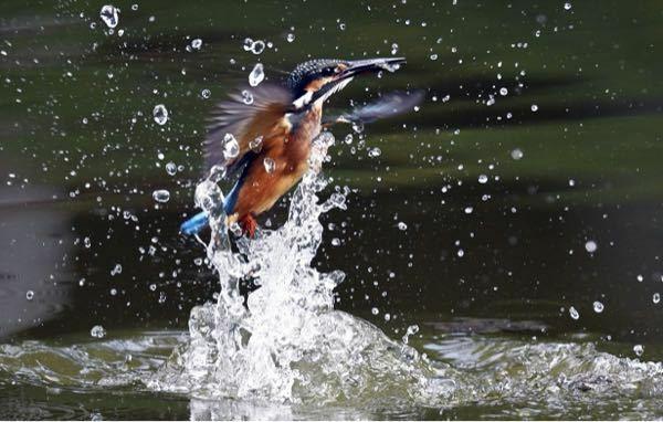 カワセミのヤラセをどう思いますか? 画像のカワセミを撮った知人から聞いた話ですが、川辺に止まり木を立てて、餌付けようの小魚を川や池に放してるようです。もちろん川には小魚を放すと何処に逃げるか分からないので、ちょっとありえない部分もありますけど。 カワセミの魚を捕らえた瞬間は定番の画像ですね。大自然の中で偶然居合わせるのは大変かも知れませんが、だからこそ価値が高いと思います。でも大自然で偶然居...