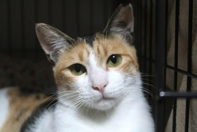 三毛猫は 日本猫なのに 名前が エミリー とは おかしいですか? (ΦωΦ)