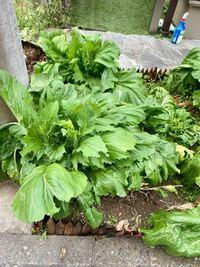 この野菜はなんという野菜でしょうか? 名前を教えてください。