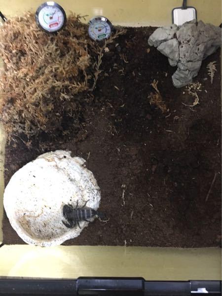 ダイオウサソリ(幼体)が飼育して6カ月経つのですが餌を一度も食べません(水は普通に飲みます) 飼育環境は下記の通りですが、何が問題なのでしょうか 直射日光回避 水は毎日入れ替え 隠れ家あり(完全に隠れられる) ストレスを与えるハンドリングや過度な覗き込みは無し 水の霧吹きも極力サソリに当てない 広さ : 30×30 温度 : 28〜30 湿度 : 70〜80 天井 : 金網の上にタオル(蒸れ対策) 床材 : ピートモス(2、3週間に一度入れ替え) 試した餌 : ヨーロッパイエコオロギ / ゴキブリ / ミミズ / ダンゴムシ / ミルワーム (いずれもサソリの体長の3分の2程度かそれ以下) (コオロギ等は足を減らすなどして動きを鈍くした) (目の前でチラつかせてもハサミで拒否) 絶食に強いと言っても、幼体で6ヶ月も餌を食べないのは気がかりです。 今のところ、弱ったり痩せたりしているわけではありませんが、脱皮の前兆も見られず、一切成長しません。 入れた餌の数からして、間違いなく餌を食べていないのですが、何が問題なのかわかりません。 (写真添付:水が汚いのは偶然で、いつもは綺麗です。撮影時にサソリが給水中で変えれませんでした)