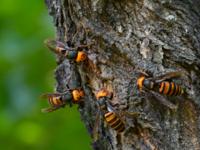 スズメバチにチンコ刺されたら使いもんにならなくなりますか?