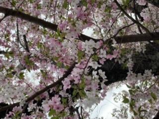 この桜はなんて言う種類ですか? すごく綺麗な桜を見つけました 白と薄ピンクと濃いピンクの花が混在してるんです。 これはどうやって咲いてるんですか? 遺伝子組み換え?こういう種類の桜があるのですか?