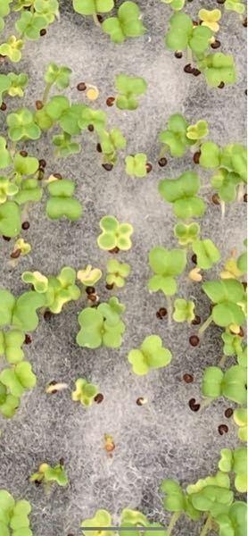 水耕栽培でベビーリーフを育てているのですが芽が白くなってしまう物が有ります。 栄養不足、日光不足など何か原因がありますか? よろしくお願いします