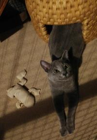 ロシアンブルー子猫その後、 かわいいですか?