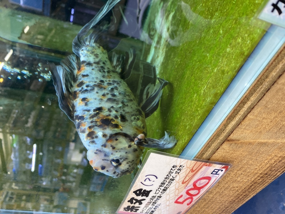 この金魚は朱文金ですか?それとも、なにかの金魚のMIXですか?それと胸びれにある丸い物は腫瘍ですか?