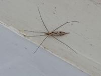 マンションの排水溝にこんな虫?がとまってました。アメンボですかね?