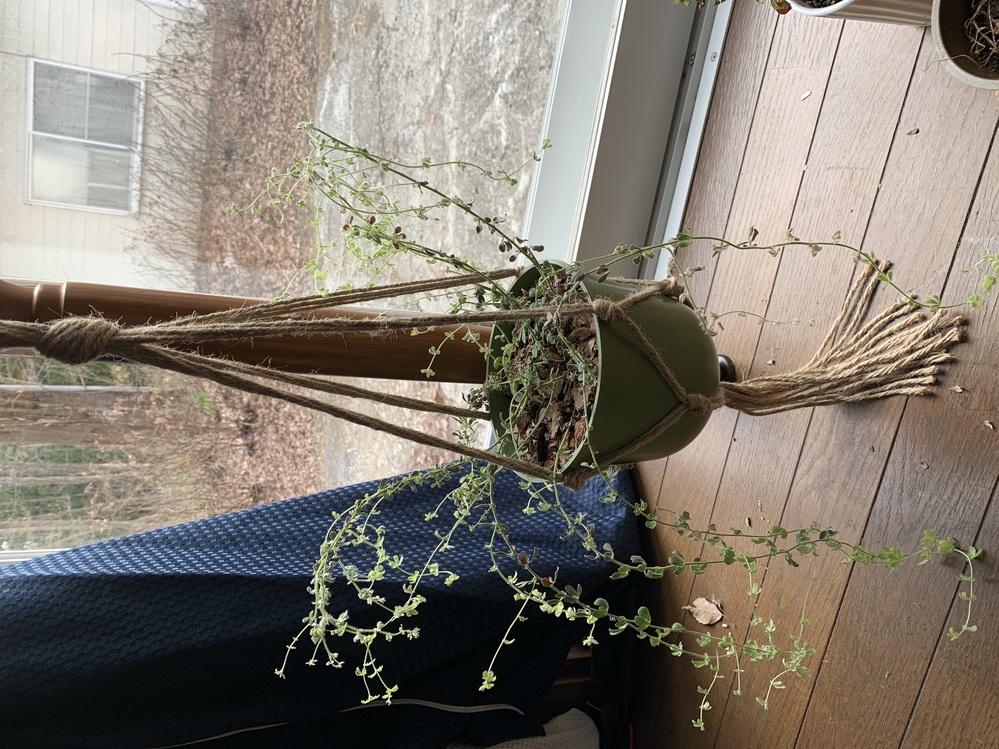 ロータスブリムストーンが弱々しいです。 昨年の秋口に購入し、乾燥した環境が好みとの事で冬の間は鉢が乾燥するまで水をやらないよう、また水捌けが良くするため鉢を吊るして通過性は良い状態にしておりました。 冬にしては新芽もゆっくり出続け元気に見えたのですが、二月頃からその新芽が乾燥したようにうなだれ始め、とても元気とは言えない様子になってしまいました。(寒い地域のため室温が夜5℃以下になる時もありました。) 枝自体も自重に耐えられず蔓性の植物かのような垂れ具合です。 一度、剪定してあげた方が良いでしょうか? また元気になってくれるにはどうしたら良いかアドバイスがあればお願いします。