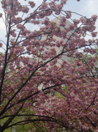ソメイヨシノが花の旬を終え、葉桜になる頃に、八重桜が満開になることを、何年か見てきました。記憶にある限りです。 時計も持っていないのに、時を合わせたように咲くことが不思議です。  これはどうしてでしょうか?