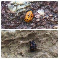 テントウムシの種類 写真のテントウムシの蛹について 種類が分かる方、ご教示ください。  先月福岡県で撮影したものです。 ナナホシテントウでしょうか。