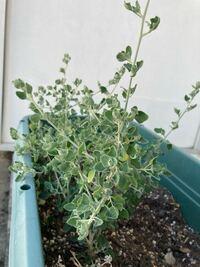 こちらの植物の名前がわかる方教えてください。 育て方を調べたいので、教えていただければ嬉しいです。お願いします。
