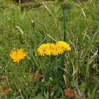 花の名前を教えて下さい。 4月6日東海地方で平べったいたんぽぽみたいな花を見付けました。何の花か分かる方いませんか。