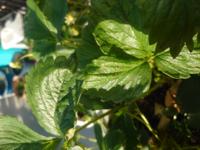 プランターでイチゴの栽培を行っています。葉や茎が黒く変色しており、炭疽病を疑っています。炭疽病にかかった場合もうどんこ病等と同様に葉を切ったり薬剤を撒いていけば、治るんでしょうか?その場合、茎の部分も 黒くなっているものがありますが、すべて切った方がいいんでしょうか?どなたかアドバイスをお願いします。