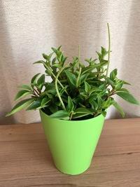 ホームセンターで買ってきたミニ観葉なのですが、名前がわかりません。 この植物の名前を教えてください!