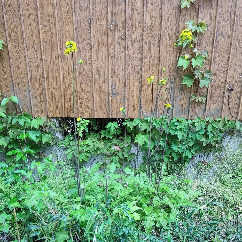 何と言う植物でしょうか?庭に生えてました。 茎がまっすくで4,50cm位あり紫がかった 色をしています。葉はタンポポみたいです。場所は千葉県です。
