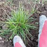 この雑草?の名前を教えてください。 シュッとした葉で見た目がとても良いのですが、畑にはびこって困っています。 耐寒性が異様に強く、根が残ってるとあっさり復活します。 いろいろ調べてみたのですが、名前が...