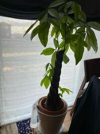 観葉植物パキラ、途中から出てる芽はどうするべきですか?お店で売っているパキラは、途中から芽が出ている商品は、まだ見たことありません。 途中から出てる芽は、みなさんどうしてますか?