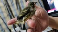 こちらの鳥を保護しました。 木の伐採中に1匹でいて、1日待ってみたのですが親鳥が来る気配もなかったので保護しました。 こちらの鳥の種類はなんでしょうか?
