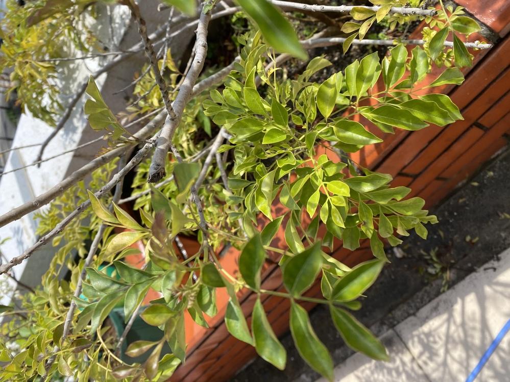 写真の植物が庭に生えており、どんどん広がって成長していて困っています。名前を教えていただきたいです。